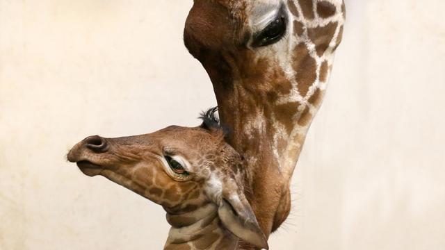 Opnieuw giraffe geboren in Artis
