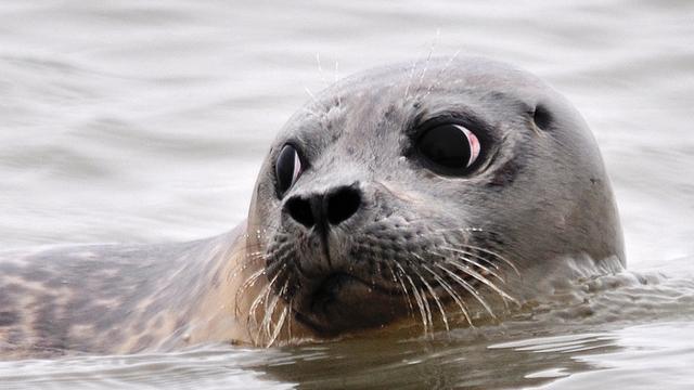 Zeehond bij Nijkerk na twee dagen gevangen