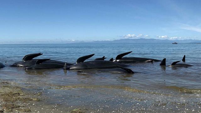Opnieuw tientallen dolfijnen aangespoeld in Nieuw-Zeeland