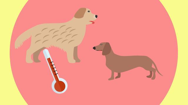 Hoe lang kan een hond in een warme auto zitten?