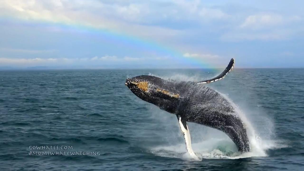 Toerist filmt springende walvis en orka's bij kust VS