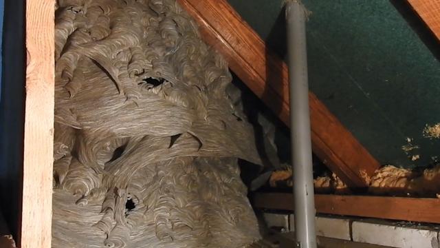 Wespennest met 12.000 wespen ontdekt op zolder in Lieshout