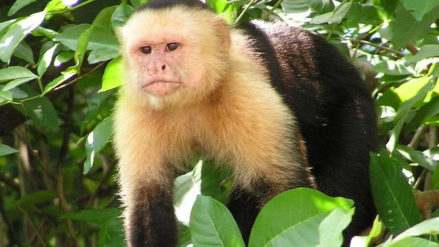 'Resten van eerste aap in Noord-Amerika ontdekt'