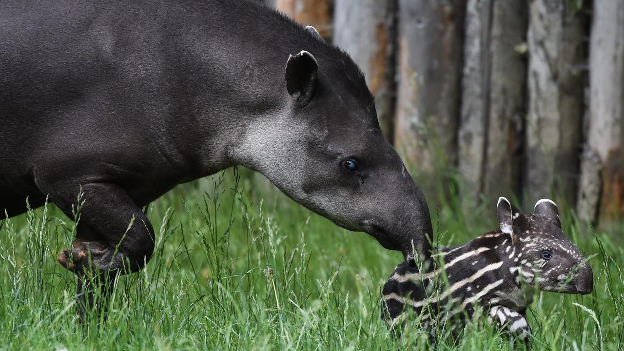 Tapir geboren in Blijdorp