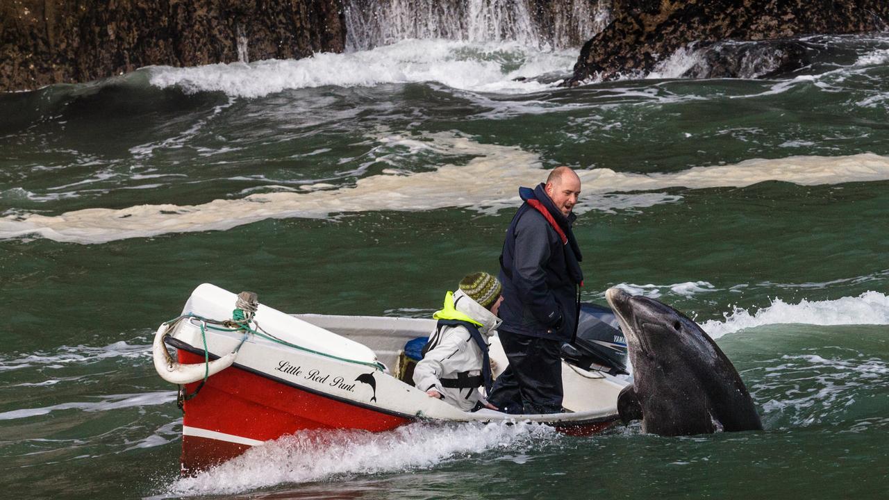 Populaire Ierse dolfijn Fungie vermist, zoektocht opgestart