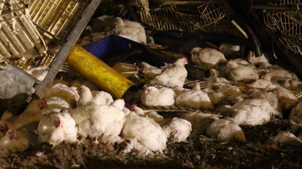 Deel A2 dicht door ongeval met drieduizend kippen