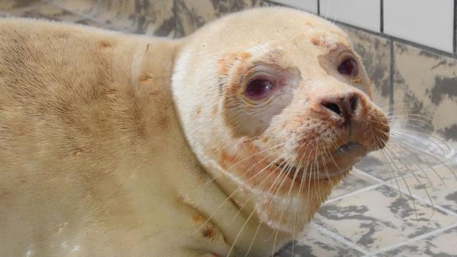 Zeldzame albinozeehond gevonden en opgevangen op Texel
