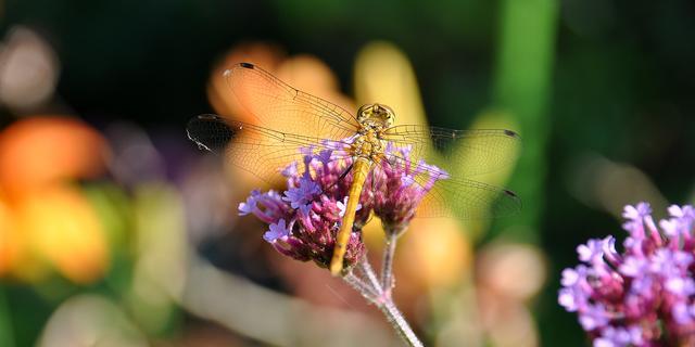 'Vrouwelijke libellen zetten soms eigen dood in scène'