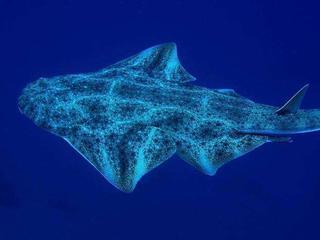 Vooral haaien en roggen in Middellandse Zee in gevaar