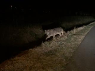 Het is de derde wolf die Nederland dit jaar aandoet