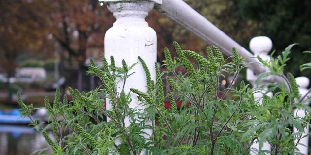 Hooikoortsplant Alsemambrosia in Den Haag aangetroffen