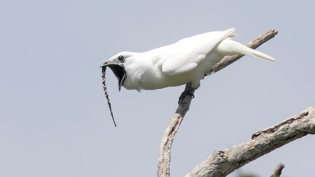 Witte klokvogel zingt, eh... schreeuwt het hardst