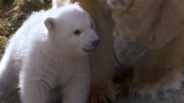 IJsbeerwelp zet eerste stappen buiten in Schots wildreservaat