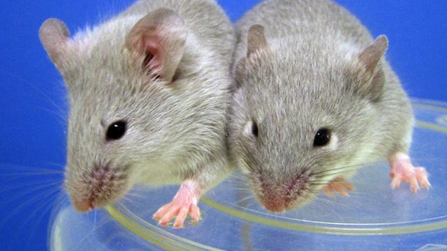 Muizen minder snel ziek in ruime kooi met veel speeltjes