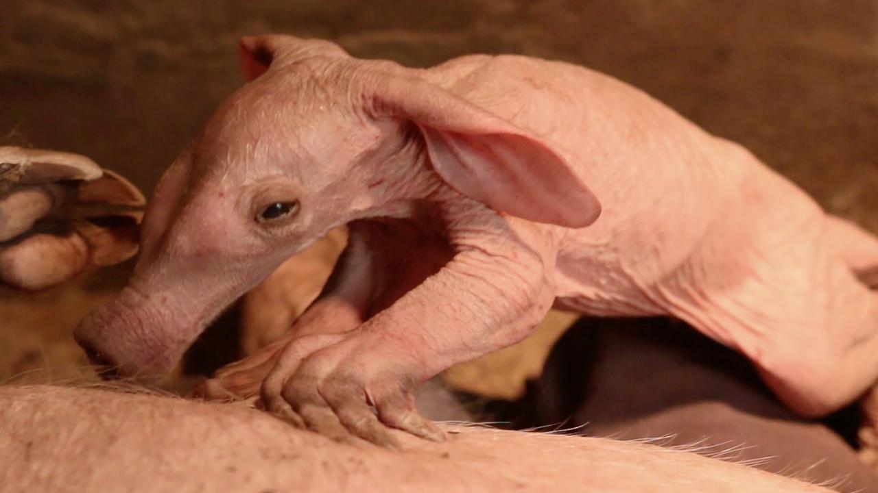 Aardvarkentje geboren in Burgers' Zoo